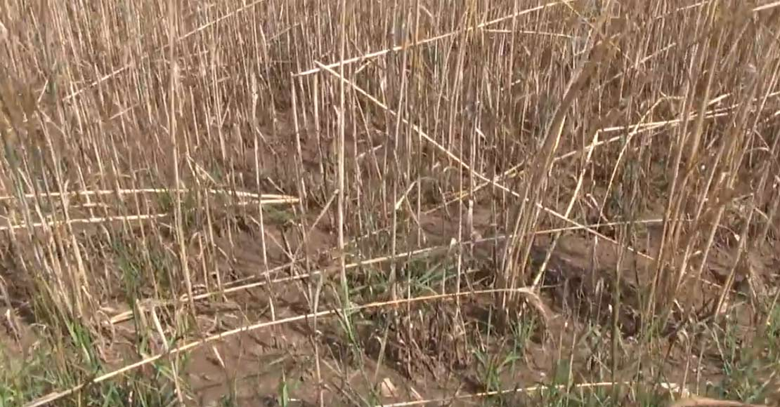Rolnicy szacują plony niższe o minimum 50% (film)