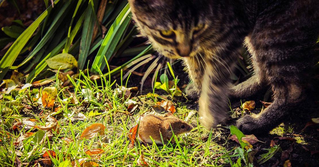 Myszy i szczury w ogrodzie – jak je wypłoszyć?