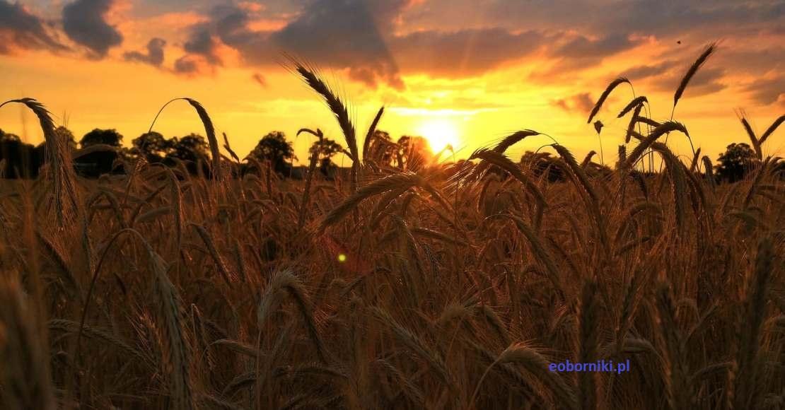 Liczne wnioski rolników o szacowanie strat w uprawach