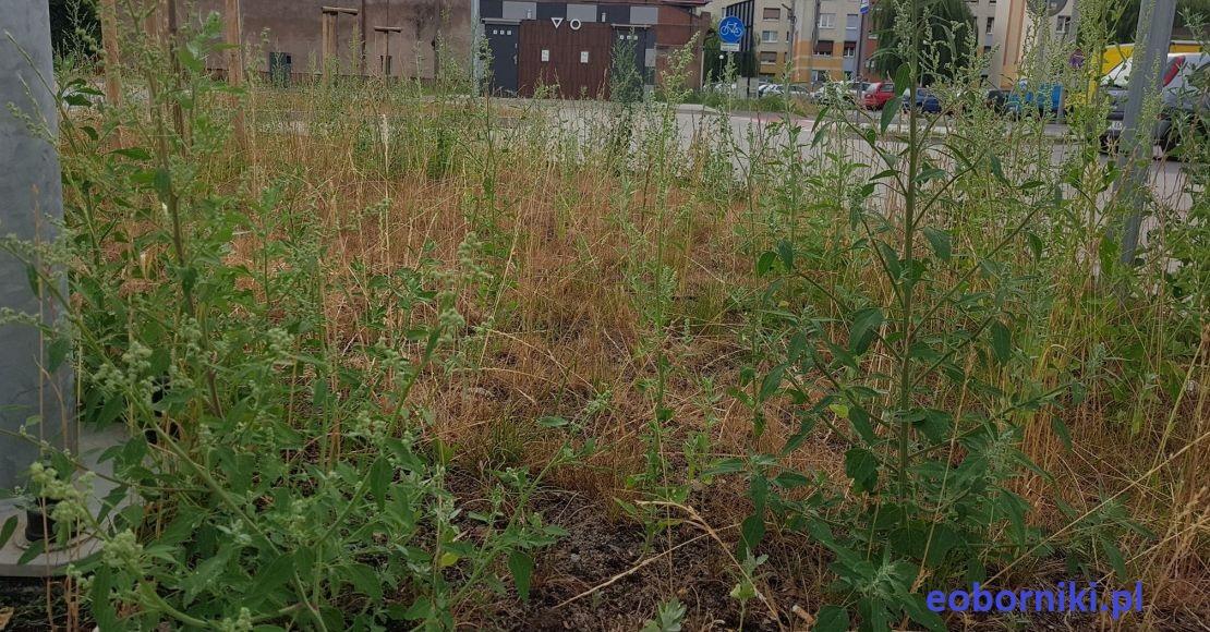 Zarośnięty parking w Obornikach (foto)