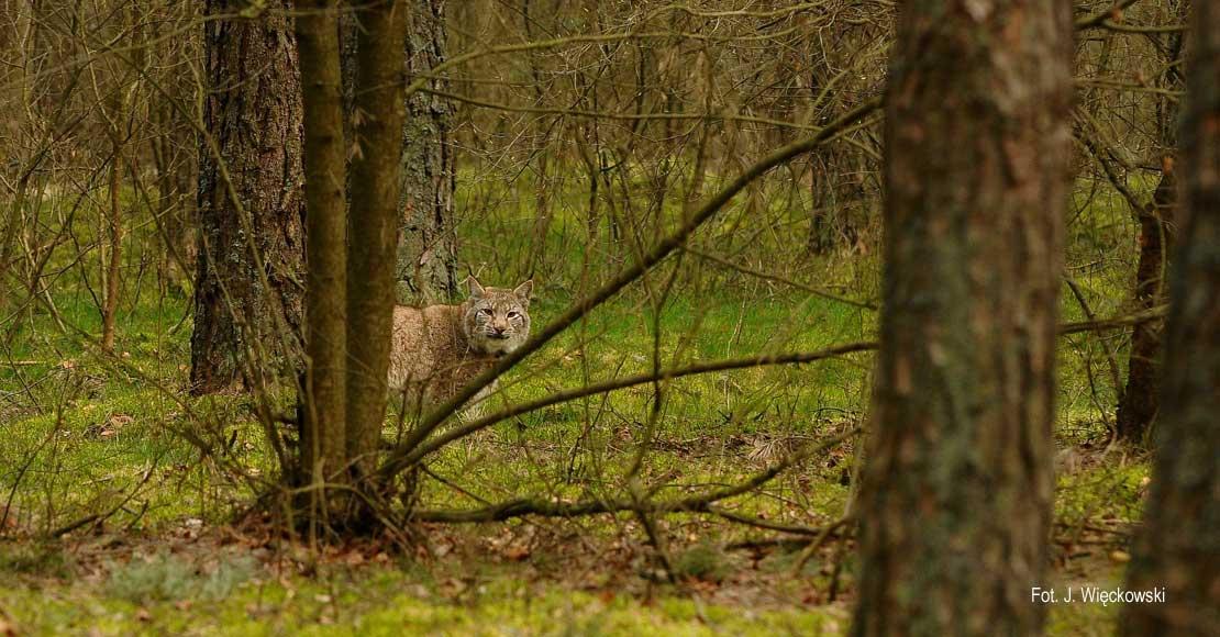Wędrujący ryś Pako odwiedził na chwile obornickie lasy