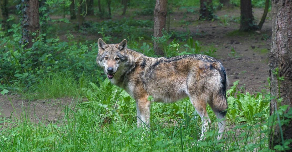 Rolnicy z Dolnej Saksonii chcą odstrzału wilków